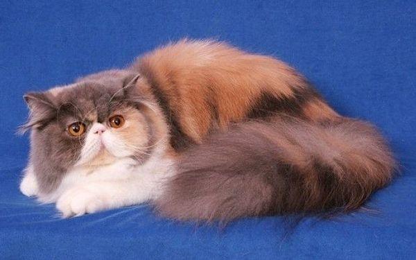 Kaufen Sie Persische Katze Geburtsdatum