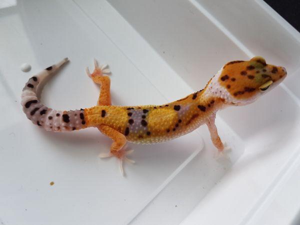 Biete Leopardgecko Nachzuchten 2017 in Hamburg an - Hamburg Harburg - Gecko, als Haustier geeignet, aus Zucht, Terrarium. Ich biete hier meine Leopardgecko Nachzuchten (Eublepharis macularius) 2017 an. Es handelt sich um Tangerine Tornados, Tangerines, Hypos, Wildfarbene und White & YellowsSie wurden auf W - Hamburg Harburg