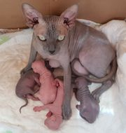 Canadian Sphynx Kitten
