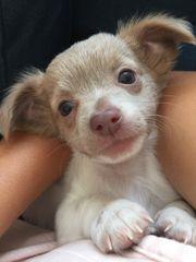 wunderschöne Langhaar Chihuahua