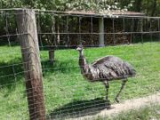 Emu weiblich
