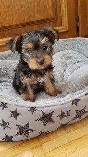 Welpen Yorkschire Terrier Mini