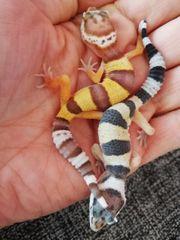 Ein oder zwei Leopardgeckos mit