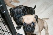 Frenchie - Pug Welpen