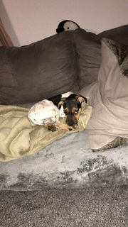 Jack Russel Mix Welpe sucht