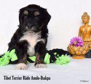 3 Tibet Terrier