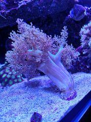 Meerwasser Weichkoralle Mulitcolor Keniabäumchen Anfängerkoralle