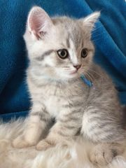 Zuckersüße BKH-Kätzchen (