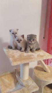 3 wunderschöne BKH Kätzchen zu