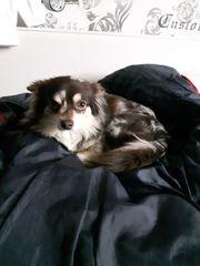 Reinrassiger Chihuahua zu verkaufen