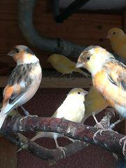 Wunderschöne Kanarienvögel aus Freivoliere