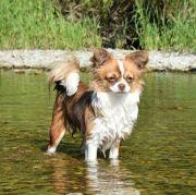 Wurfankündigung Chihuahua Welpen