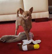 Wunderschöner reinrassiger Chihuahua