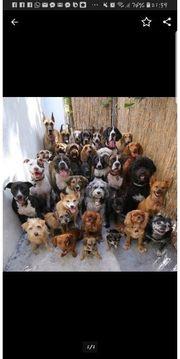 Suche Deutsche Dogge Welpen ab