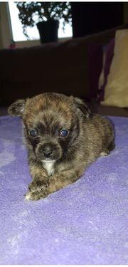 Chihuahua - Pomchi Welpen