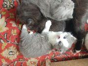 persische Katzen