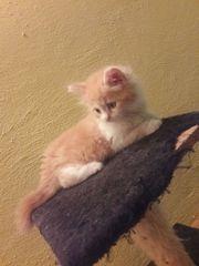Wunderschöne vermuste Maine-Coon-Kitten aus Eisenberg