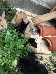 Kaninchen Babys zu