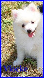 Pomeranian Hundinwelpe cremegescheckt