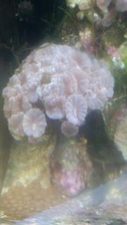 Calustera mint korallen