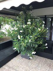 Traumhafter weisser Oleander