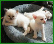 Siam - Birma - Mix - Kitten