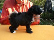 3 Tibet Terrier -