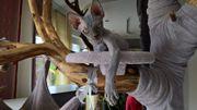 Wunderschöne Canadian Sphynx ,