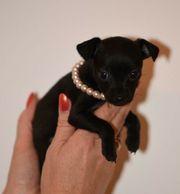 russkiy toy terrier