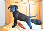 Herzensbrecher: Labrador-Mischlingswelpen!