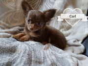 Typvolle Chihuahua-Langhaar-