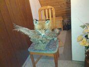 Ausgestopfter Präparierter Fuchs