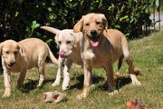 Lebhafte Labrador Welpen vier Monate