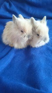 Kaninchen/Teddyzwergkaninchen babys