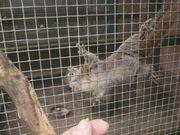 Streifenhörnchen-Bock