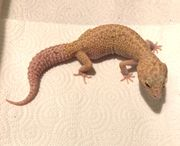 0 1 leopardgeckos