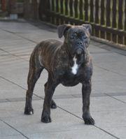old englisch bulldog weibchen