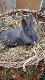 Kaninchen Blaue Wiener