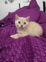 Bkh Katzen kitten Baby
