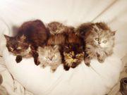 Perser Katzen Kitten grau schwarz
