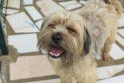 Fidalgo, Tibet Terrier