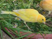 Timbrado Hahn Kanarienhahn Kanarien Vogel