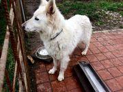 Reinrassiger Weißer Schäferhund