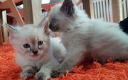 Sibirische Waldkatzen Neva Masquarade Babys