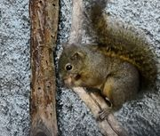 Costa-Rica-Hörnchen Hoffmanni
