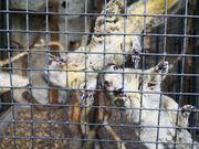 Chin Streifenhörnchen
