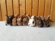 Zauberhafte Kleinrex Kaninchen