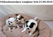 Süsse Chihuahuawelpen Reinrassig Typvoll Lang