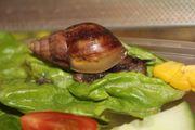 Achatschnecken - Achatina fulica