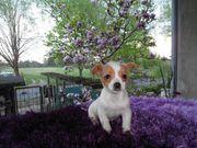 Kleiner Chihuahua Mann
